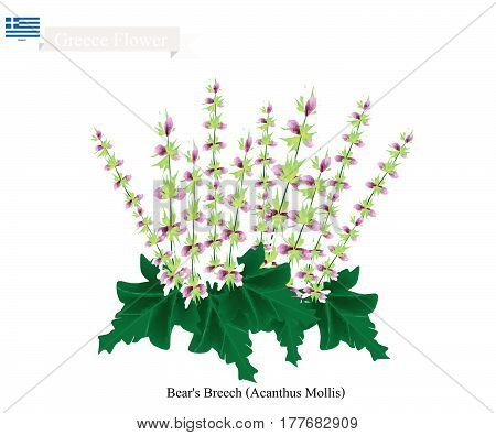 Greece Flower Illustration of Bear's Breech or Acanthus Mollis Flowers. The National Flower of Greece.