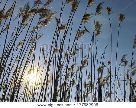 Cattails Agains The Sun And Sky