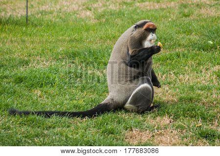 Image of Lemur eating carrot, Athens, Greece