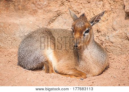Close full face image of lying dik-dik antelope