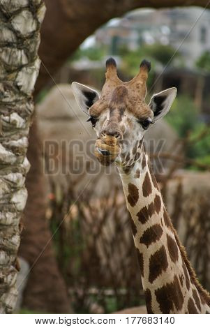 Full face image of giraffe`s neck and head