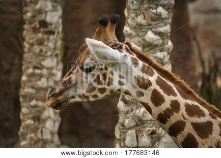 Close image of giraffe`s neck and head profile