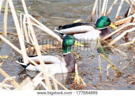 Male Mallard duck afloat in early spring