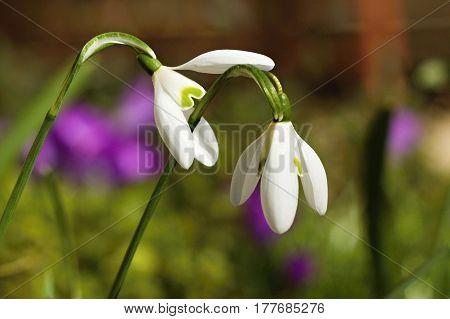 First snowdrop growing from snow. Close-up white spring flowers. Galanthus nivalis. Awakening nature.