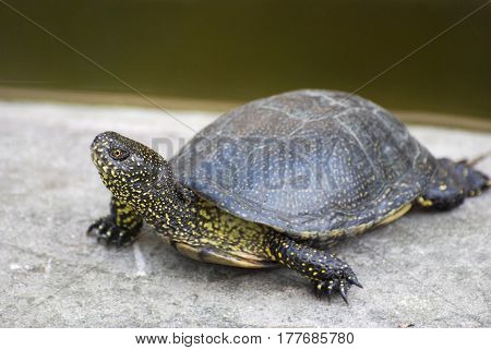 European pond turtle (Emys orbicularis) or European pond terrapin