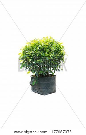 Ficus altissima Blume in bag black isolated on white
