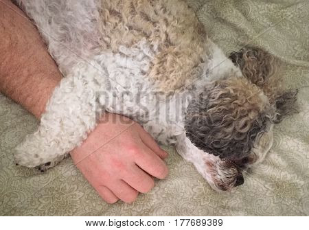 Closeup of sleeping dog on bed with paws around mans arm. Cute small brown and white curly dog.