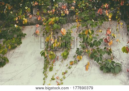 Old wall overgrown with colorful autumn leaves of a wild grapes. Fall tone colors photo