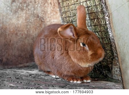eared beautiful redhead living a fat rabbit in a cage with hay
