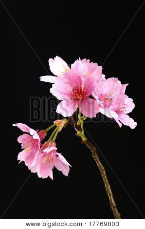 Beautiful flowers blooming cherry on a black background