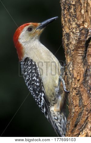 A male Red-bellied Woodpecker, Melanerpes carolinus on the side of a tree