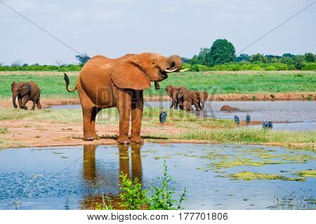Huge male African elephant drinking water at a waterhole