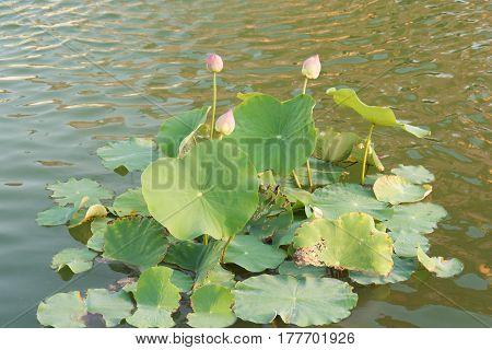 Lotus flower and Lotus flower plants. pink lotus