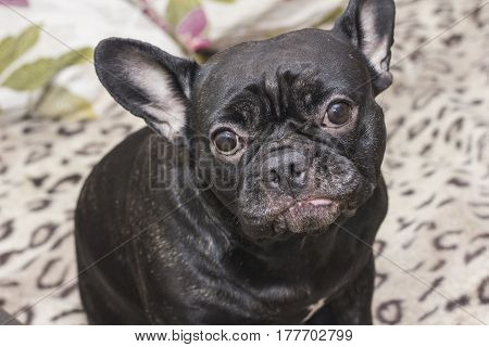 Black French Bulldog Dog Sitting On The Sofa Looking Sad