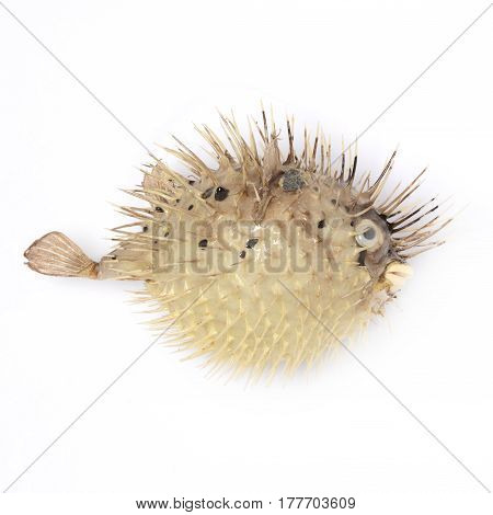 Bloated fish hedgehog on white background isolated closeup