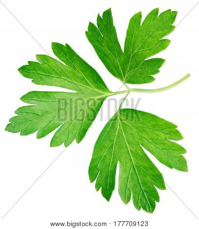 Garden parsley herb (cilantro) leaf isolated on white background with clipping path