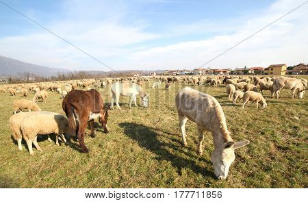 Donkeys And Sheep Grazing On A Warm Day
