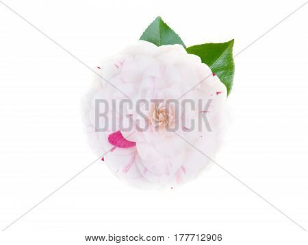 White and pink bicolor camellia formal double form flower with leaves isolated on white
