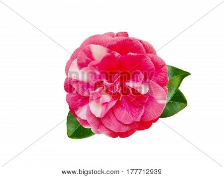 White and pink bicolor camellia formal double fpeony form flower with leaves isolated on white