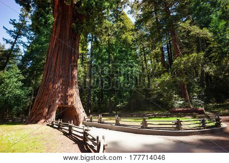 The footpath through tunnel in huge sequoia tree in the Redwood National Park, California, USA