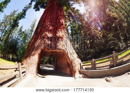 Tunnel through the huge sequoia tree in the Redwood National Park in California, USA