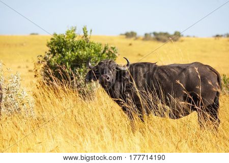 Wild African buffalo bull standing alone at dry grass plain of savannah