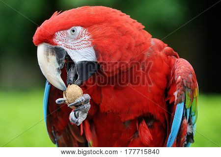 Red Macaw cracking a nut in a nature