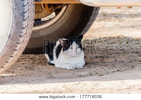The cat in thailand crouched under cars