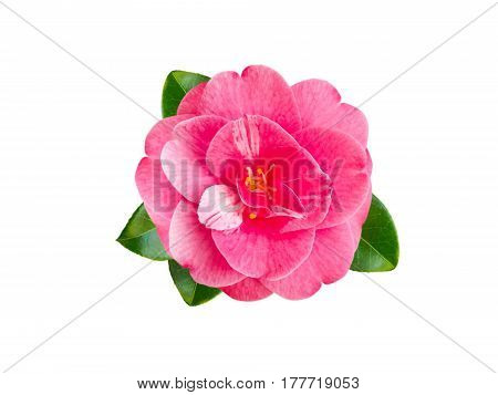 Pink camellia japonica flower with leaves isolated on white