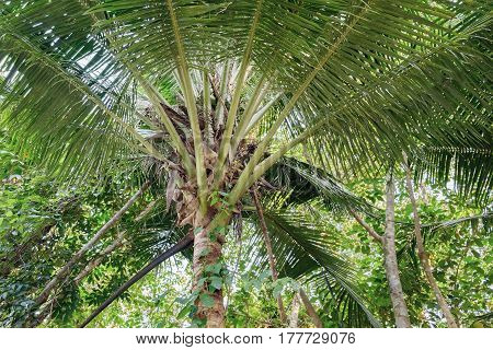 The top of the coconut palm tree with no nuts. Dense thickets of tropical forests. Natural photography.