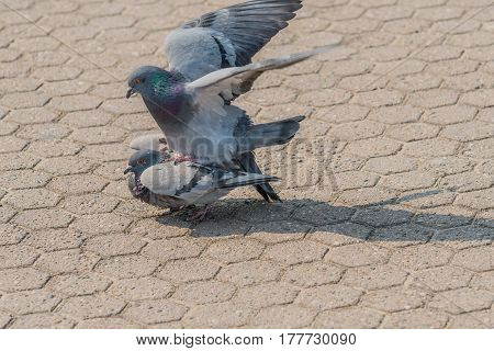 Close up of a pair of pigeons mating in a park on a sunny day in Seoul South Korea