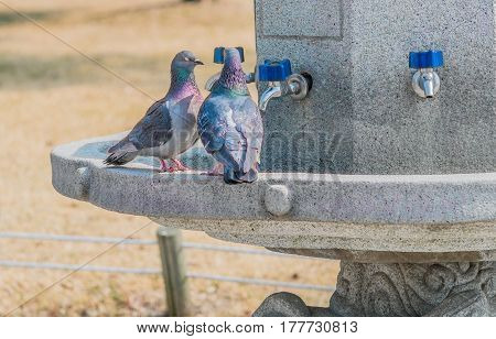 Two pigeons together in a concrete water fountain with blue handle on chrome faucets