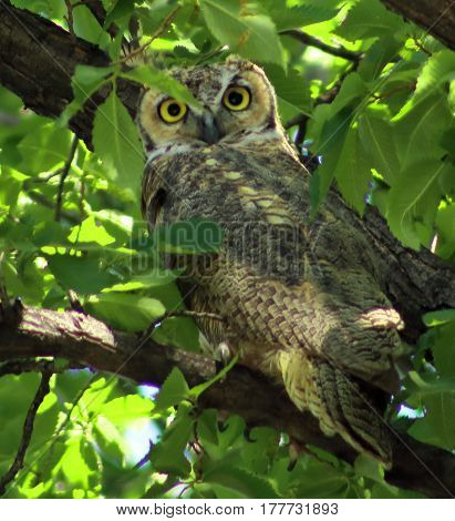 Great Horned Owl perched in a tree in South Dakota