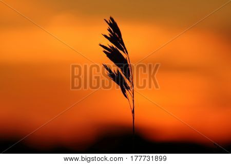 Stalk of grass silhouetted against a red-orange sunset.
