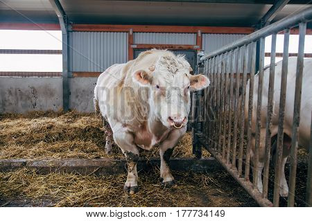 Belgian meat bull inseminator in free livestock stall