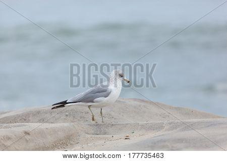 Seaside Heights Seagulls