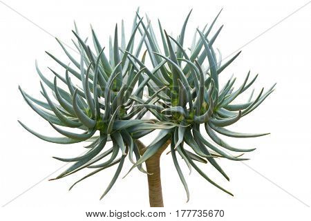 Aloe quiver tree isolated on white background