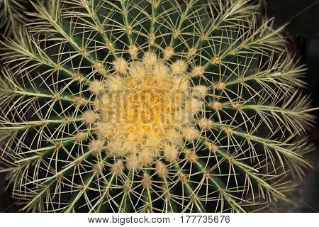 Close up of golden prickles on ball cactus
