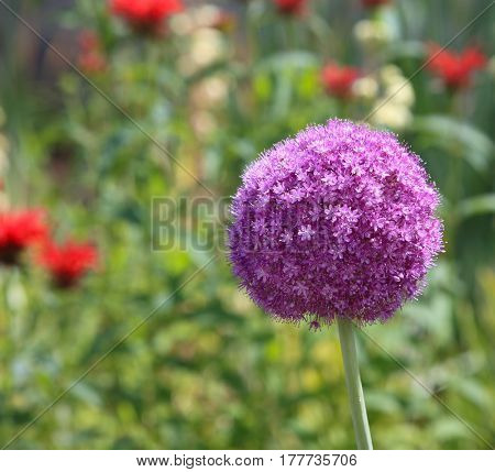 Single purple Allium Giganteum flower in the garden