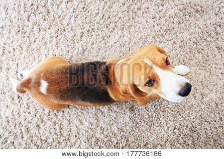 Beagle Dog On Soft Carpet From Above