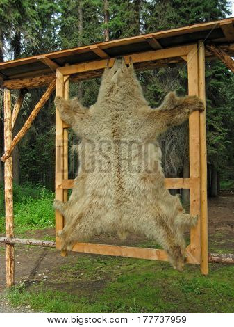 Bear Pelt, Skin Hanging in a Forest