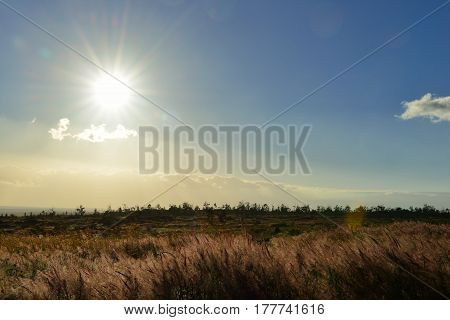 Sun Shining Over The Tall Grass Field In Volcano National Park At Sunset, Big Island Of Hawaii