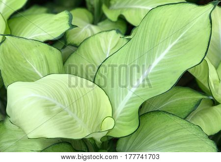 Pattern of fresh green and white leaf background (Dieffenbachia)