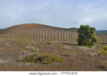 Old Lava Field And A Tree In Volcanoes National Park, Big Island Of Hawaii