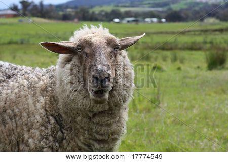 Hello From Baa The Sheep