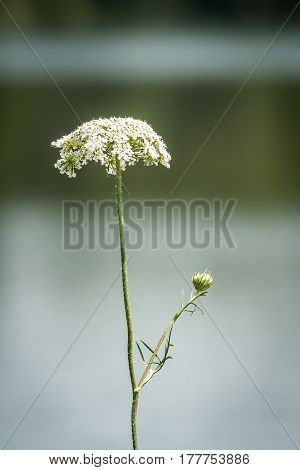 Single stalk of Queen Anne's Lace blooming at edge of lake, vertical image