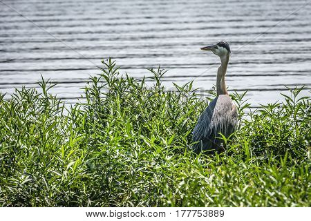 Great Blue Heron standing in grass at edge of lake