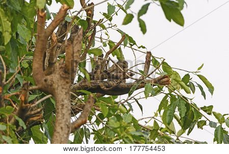 Asian Barred Owlet in a Tree in Pokhara Nepal