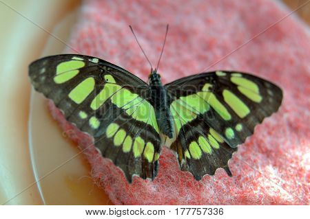 Malachite Butterfly Siproeta stelenes with black and green wings