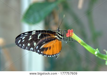 Butterfly macro close up Tithorea tarricina, tarricina longwing, variable presonian, cream-spotted tigerwing